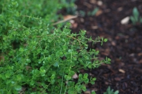 Dwarf Coyote Bush: Resists fire, attracts wildlife, and beautifully retains slopes - an ideal plant for the foothills!