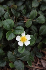 Beach Strawberry, Fragaria chiloensis: In addition to strawberries, beach strawberry brings lovely little white blooms and a deep, dark green ground cover