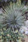California Yucca: A real powerhouse! Enjoys full sun, resists fire, and nearly every aspect is edible