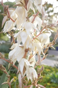 "California Yucca: Called ""Our Lords Candle"" for its incandescent blooms that make a crunchy addition to salads"