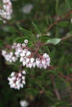 Manzanita: Enjoys full sun and offers edible berries