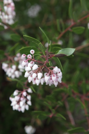 Manzanita: Enjoys full sun and offers edible berries and blooms