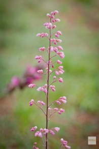 Alum Root, Heuchera micrantha: Delicate pink bells and