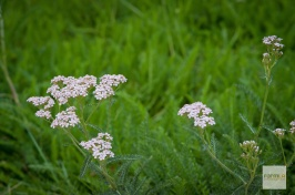 Feathery soft and green when mowed, Yarrow explodes with delightful blooms when left to grow.