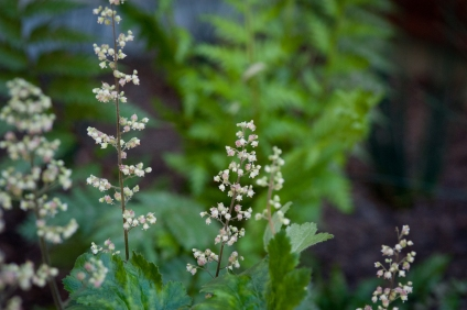 Sword Fern and Alumroot make beautiful shade garden companions