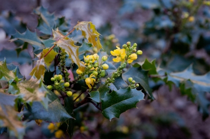 Oregon Grape (Spring): Resists fire, produces grapes, attracts wildlife, and enjoys both rain and shade gardens