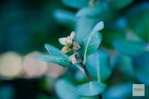 Rhus integrifolia, Lemonade Berry