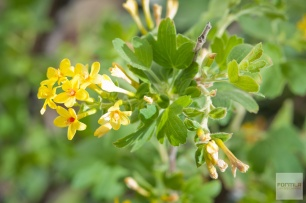 Ribes aureum, Golden Current (Spring)