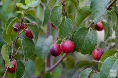 Catalina Cherry: An attractive, delicious hedge