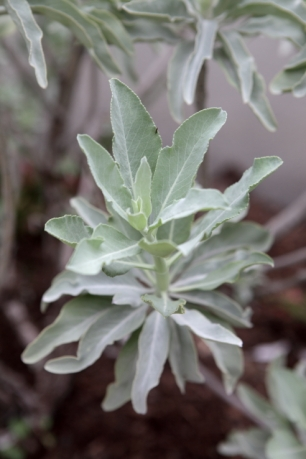 White Sage: Attracts wildlife, edible, and incredibly fragrant