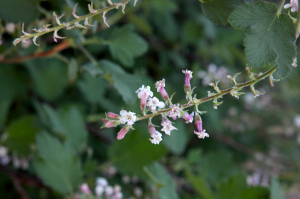 Ribes: Adds delicate Wisteria-like flowers to shade and rain environments