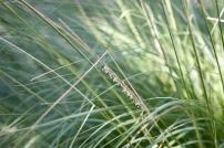 Deergrass, Muhlenbergia rigens