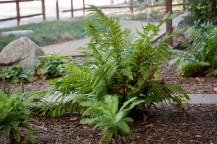 Sword Fern, Polystichum minimum: Evergreen, this fern loves the understory of trees, or, in this case, city hall