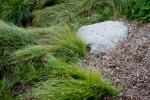 Carex Pansa: Waves of this bright green native grass fill one of the garden's two bioswales