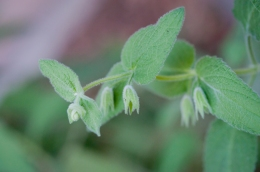 Pitchers Sage: The fragrance is in the foliage, so it scents the air even when not in bloom
