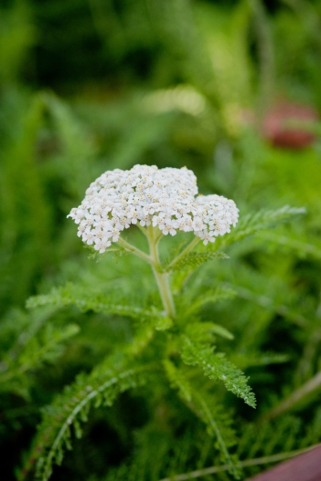 Common Yarrow: Serves as an IdealMow lawn/meadow, attracts wildlife and enjoys water-filtering rain garden spaces